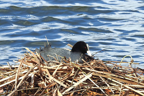 Eurasian coot (Fulica atra) Eurasian coot sitting in its nest in its natural habitat coot stock pictures, royalty-free photos & images