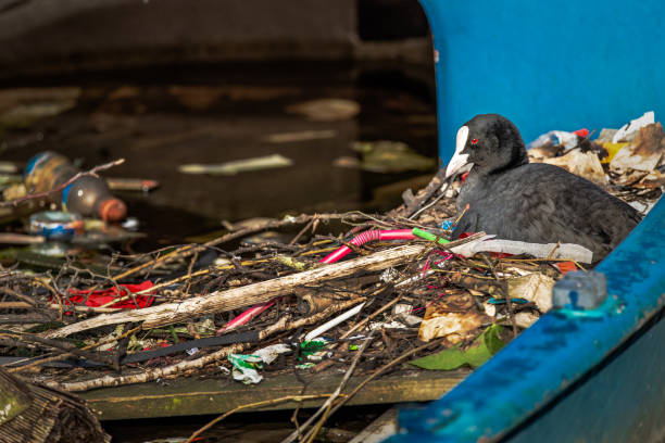 Eurasian Coot sits on a nest made of twigs and trash, in a partially sunk boat in an Amsterdam canal Trash, including a lot of plastic, make up a large amount of the nesting material that this Eurasian Coot and it's partner built their nest with. Nest is located in a partially-sunk boat in a canal in Amsterdam, the Netherlands. coot stock pictures, royalty-free photos & images