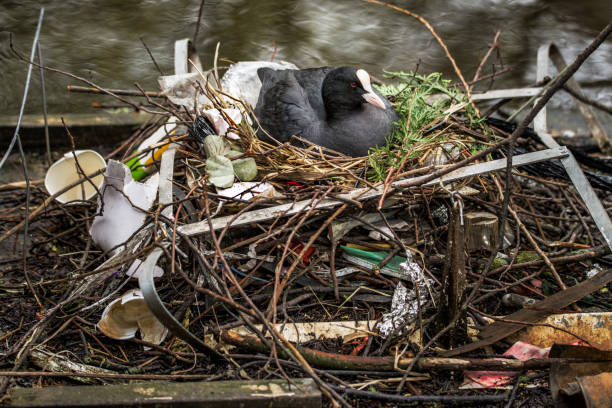 Eurasian Coot sitting on a nest made with sticks and human trash stock photo