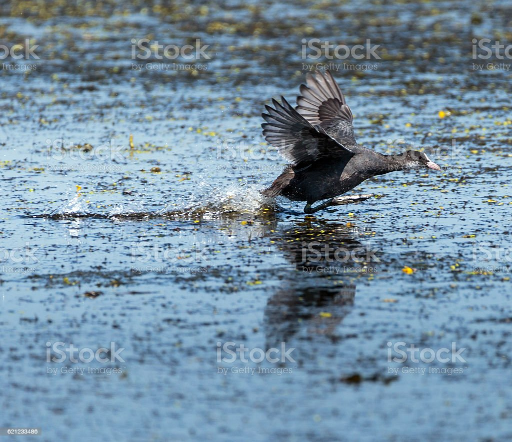 Eurasian coot taking off stock photo