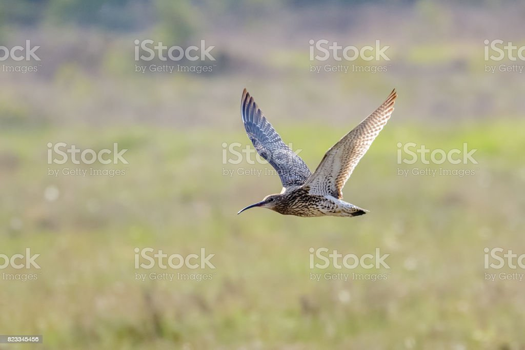 Eurasian Curlew (Numenius arquata) flying, in flight low across sunny heathland in sunshine stock photo