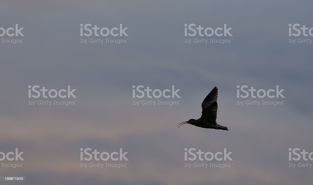 Eurasian Curlew stock photo