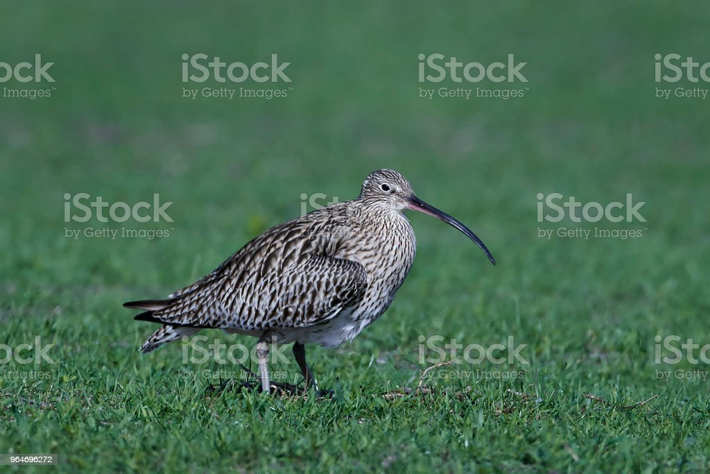 Eurasian curlew (Numenius arquata) royalty-free stock photo