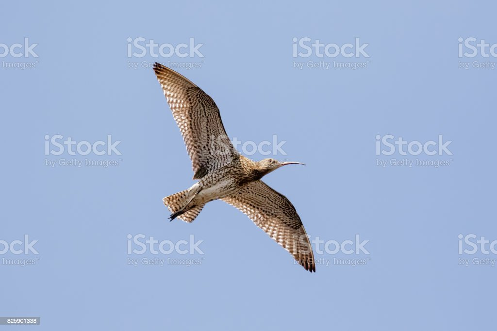 Eurasian Curlew (Numenius arquata) underside flying, in flight high overhead against blue sky background stock photo