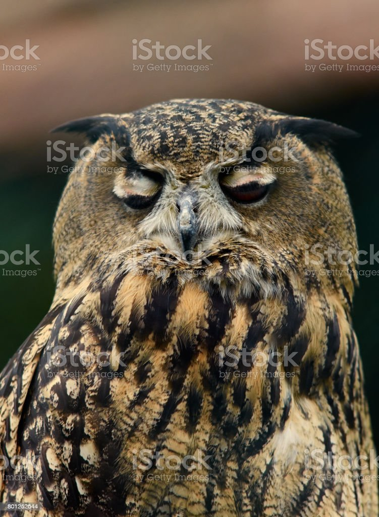 Eurasian Eagle Owl (Bubo bubo) almost sleeps, portrait close up. stock photo