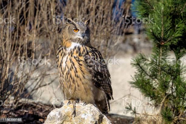 Eurasian eagle owl bubo bubo in a german nature park picture id1156399165?b=1&k=6&m=1156399165&s=612x612&h=x6l8 p7e5ljdrbvpi9suqxtxioncl28mngapuqgkbew=