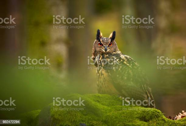Eurasian eagle owl bubo bubo siting on the rock in the dark forest picture id932472294?b=1&k=6&m=932472294&s=612x612&h=srqprf3k4tyh5tsksfat7tjfkvrffh9joh 5xu5i6 k=