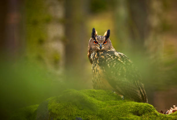 Eurasian eagle owl, Bubo bubo, siting on the rock in the dark forest. Green forest in the background. Wild animal with big orange eyes. stock photo