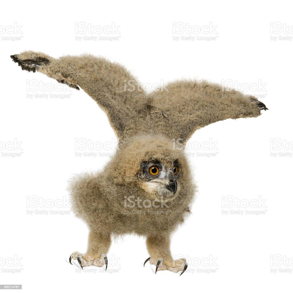 Eurasian Eagle Owl - Bubo_Bubo (6 weeks) stock photo