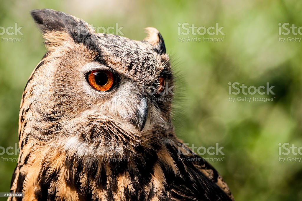 Eurasian Eagle Owl front view stock photo