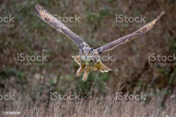 Eurasian eagle owl in natural environment picture id1137830228?b=1&k=6&m=1137830228&s=612x612&h=k2z3rw6rdyq95itspsav8bll6awgr ict6bdyaq8uya=