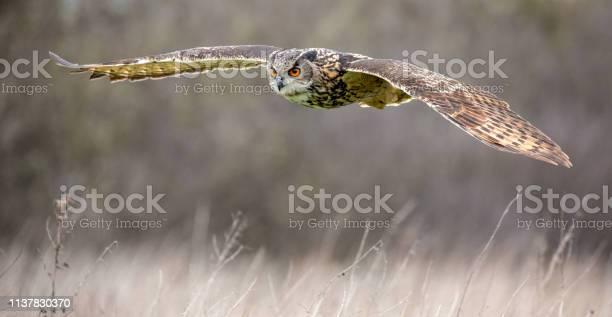 Eurasian eagle owl in natural environment picture id1137830370?b=1&k=6&m=1137830370&s=612x612&h=gpnbuecjr9farzxrtyf5fld6xb1kyaxijlqeihqnueo=