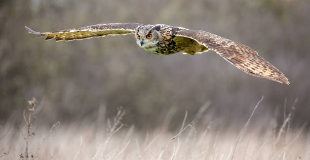 Eurasian Eagle Owl (Bubo bubo) in natural environment stock photo
