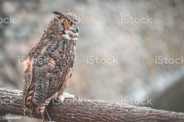 Eurasian eagle owl in tokyo japan with sakura background picture id1205303803?b=1&k=6&m=1205303803&s=612x612&h=bfivv73d8 ojcsmlhjzifao4zwhsdeebpifiok5vvw0=