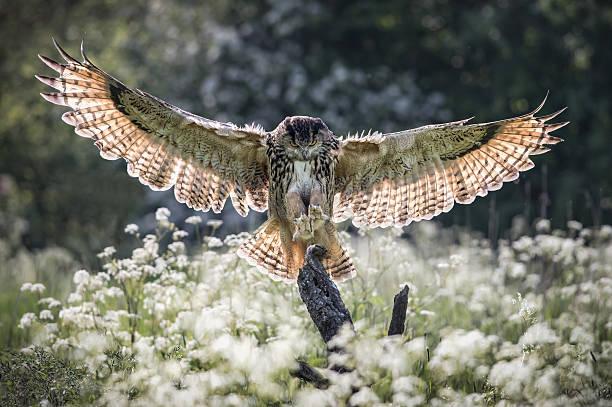 Eurasian eagle owl picture id178140153?b=1&k=6&m=178140153&s=612x612&w=0&h=fgmm qd9q8agudk7ryhk9zapoaztjhnwrxpfpimx7no=