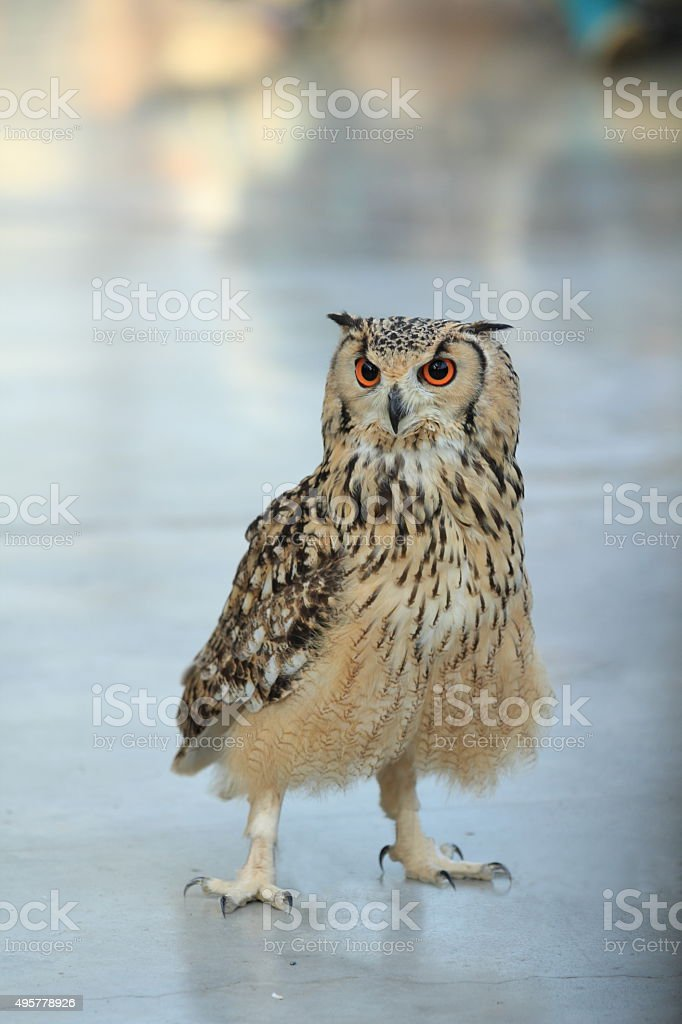 Eurasian eagle owl stock photo