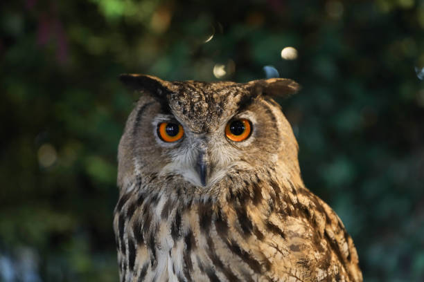 eurasian eagle owl - owl stock photos and pictures