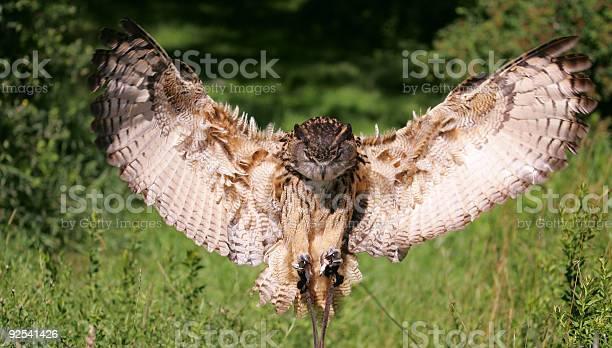 Eurasian eagle owl picture id92541426?b=1&k=6&m=92541426&s=612x612&h=r8krdesk0re4rxpcjmim6tgbvbvxk5aqp jeakehqjk=