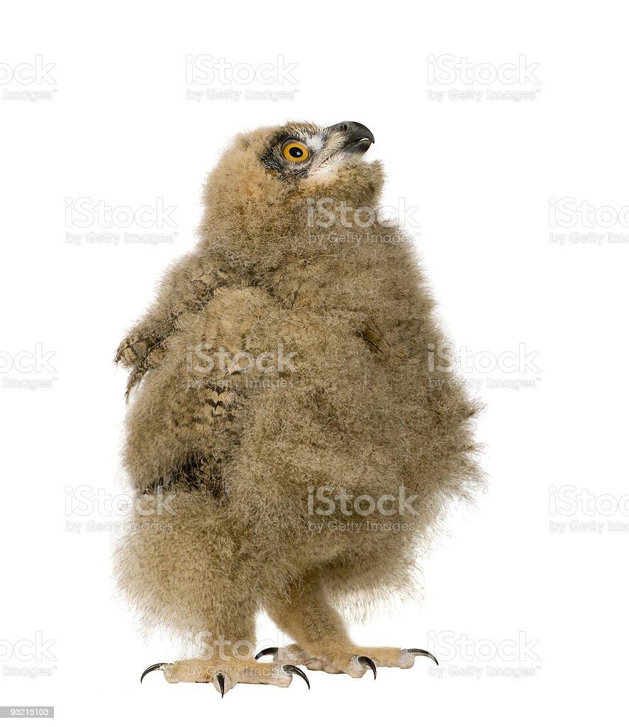 Eurasian Eagle Owl (6 weeks) stock photo