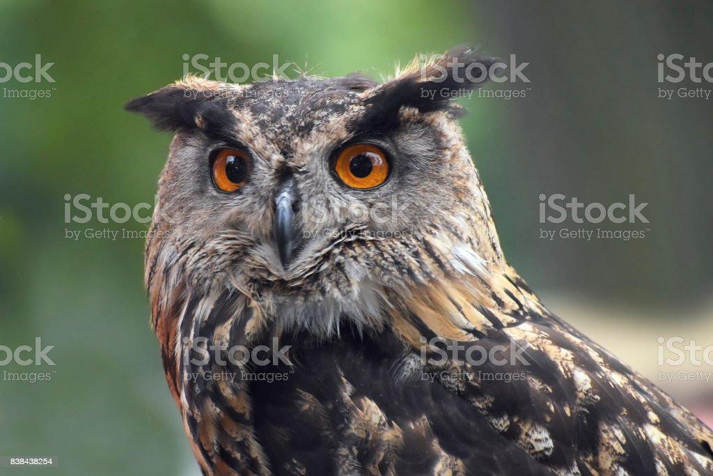 Eurasian eagle owl (bubo bubo) portrait, owls are often used as a symbol of wisdom stock photo