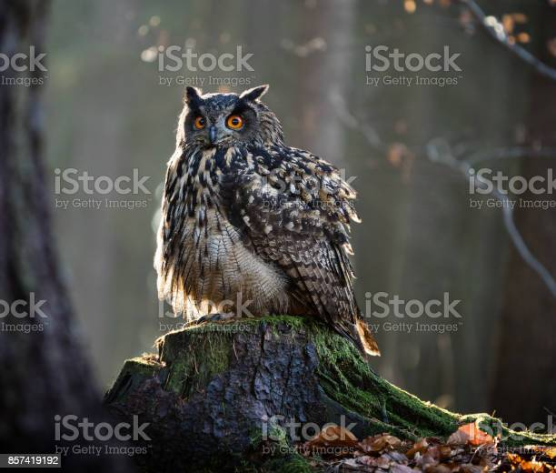 Eurasian eagle owl sitting on the stump picture id857419192?b=1&k=6&m=857419192&s=612x612&h=cnowwcpf8a pdfwckwyvtrwz53az70tceuwxiva4puk=