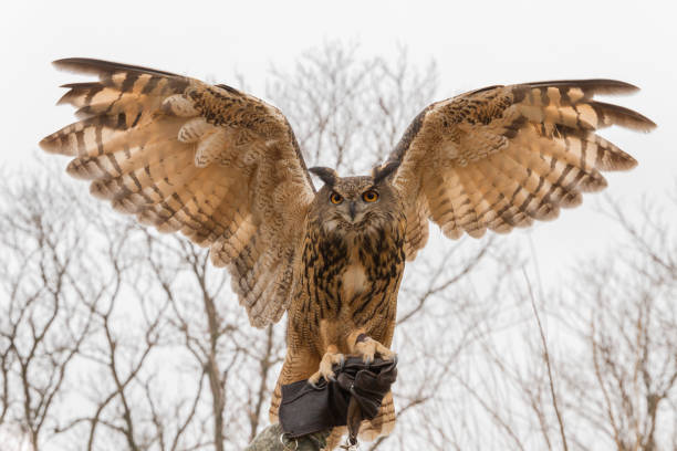 Eurasian eagle owl with its wings spread perched on falconers hand in picture id859176340?b=1&k=6&m=859176340&s=612x612&w=0&h=eyvfp9zy2f6ik3k0bcimvuurq7yacbxiu53kgjc2vjm=
