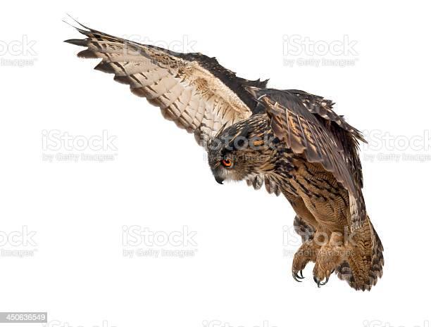 Eurasian eagleowl bubo 15 years old picture id450636549?b=1&k=6&m=450636549&s=612x612&h=1co9s8ssgp29leqtoapcitcrwsnsriunwkm51dlqzl4=