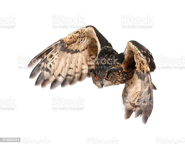 Eurasian eagleowl bubo bubo 15 years old flying picture id613903544?b=1&k=6&m=613903544&s=612x612&h=ogjxdbr1qpepdzouwr cjumdw9i q56lv6b1nsvmsbs=