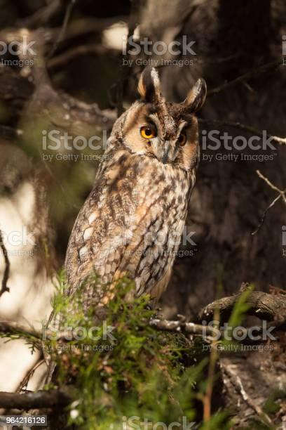 Eurasian eagleowl bubo bubo picture id964216126?b=1&k=6&m=964216126&s=612x612&h=tujbdngjxlyj4ccprcwhzrldkovdyaatbicbmi9eazu=