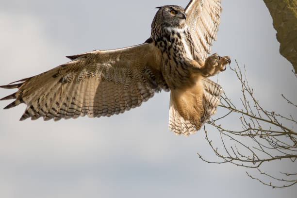 Aninimal Book: Top 60 Owl Attack Stock Photos, Pictures, and Images - iStock