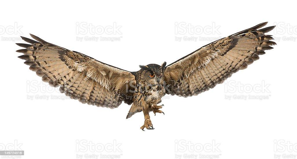Eurasian Eagle-Owl flying against white background stock photo