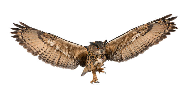 eurasian eagle-owl flying against white background - owl stock photos and pictures