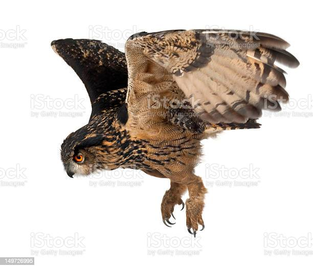 Eurasian eagleowl flying against white background picture id149726995?b=1&k=6&m=149726995&s=612x612&h=ewdx4tkoiht2b0o9lb653szf6knhahz65uza oqkm14=
