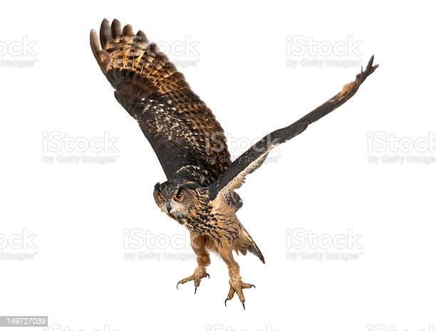 Eurasian eagleowl flying against white background picture id149727039?b=1&k=6&m=149727039&s=612x612&h=8x5a3dw54g5yg8omqav aqvrpyj bwkawztf8r0jire=