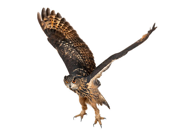 Eurasian eagleowl flying against white background picture id149727039?b=1&k=6&m=149727039&s=612x612&w=0&h=gyu8oeozbmm jo2jeclvey6k37b6kbntnv3nvsb8lbi=
