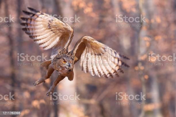 Eurasian eagleowl flying forward with wings open in autumnal nature picture id1211280393?b=1&k=6&m=1211280393&s=612x612&h=hf2lxlb9npg9ayncajddsma1wcxkjaya4zswgho8j6m=