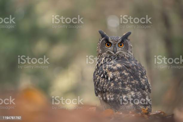 Eurasian eagleowl in beaty blured forest background bubo bubo picture id1194761752?b=1&k=6&m=1194761752&s=612x612&h=uwelktaw4h9cr7vqauoco aszhbqupybbgoeshax0sc=