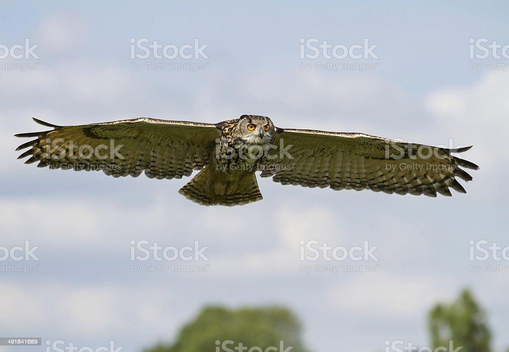 Eurasian Eagle-Owl (Bubo bubo) in flight, UK stock photo