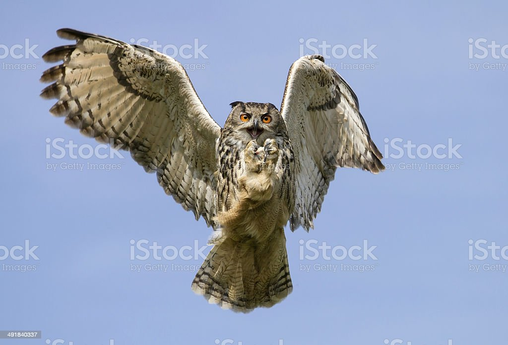 Eurasian Eagle-Owl (Bubo bubo) in flight with a catch, UK stock photo