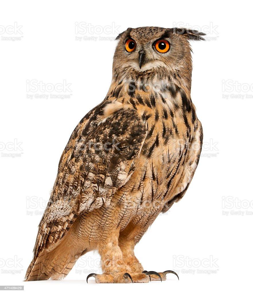 Eurasian Eagle-Owl royalty-free stock photo