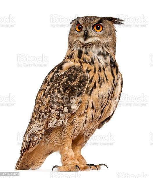 Eurasian eagleowl picture id471409429?b=1&k=6&m=471409429&s=612x612&h=tt5hpgtredyaeag2tlydd2kl3idhuf1w6fiueyutzu8=