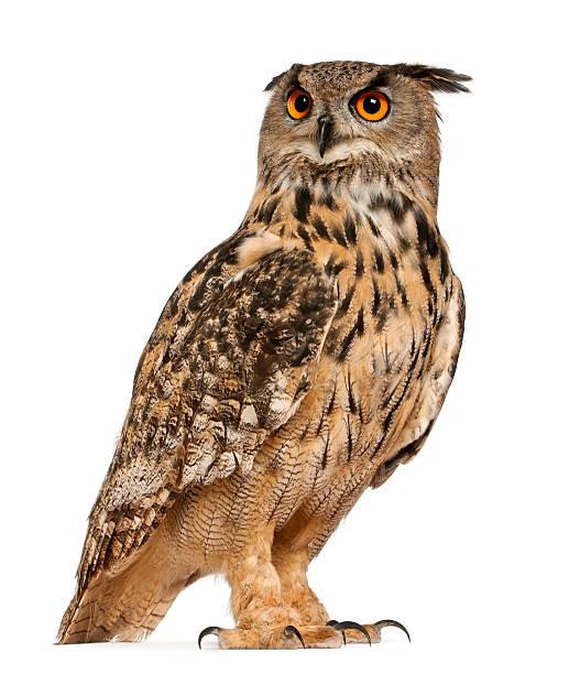 Eurasian Eagle Owl – Foto