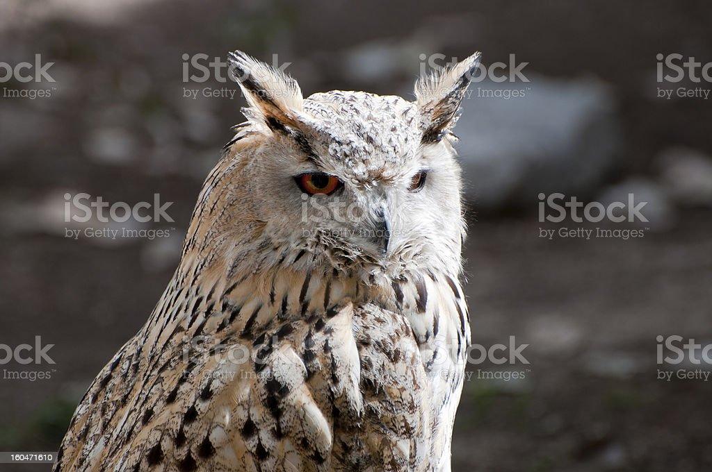 Eurasian Eagle-Owlis royalty-free stock photo