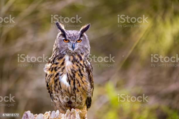 Eurasian eagles owl picture id876816172?b=1&k=6&m=876816172&s=612x612&h=q6d0qpj86wrfk3wdjucxjphf aow1tvl90iggsk9yga=