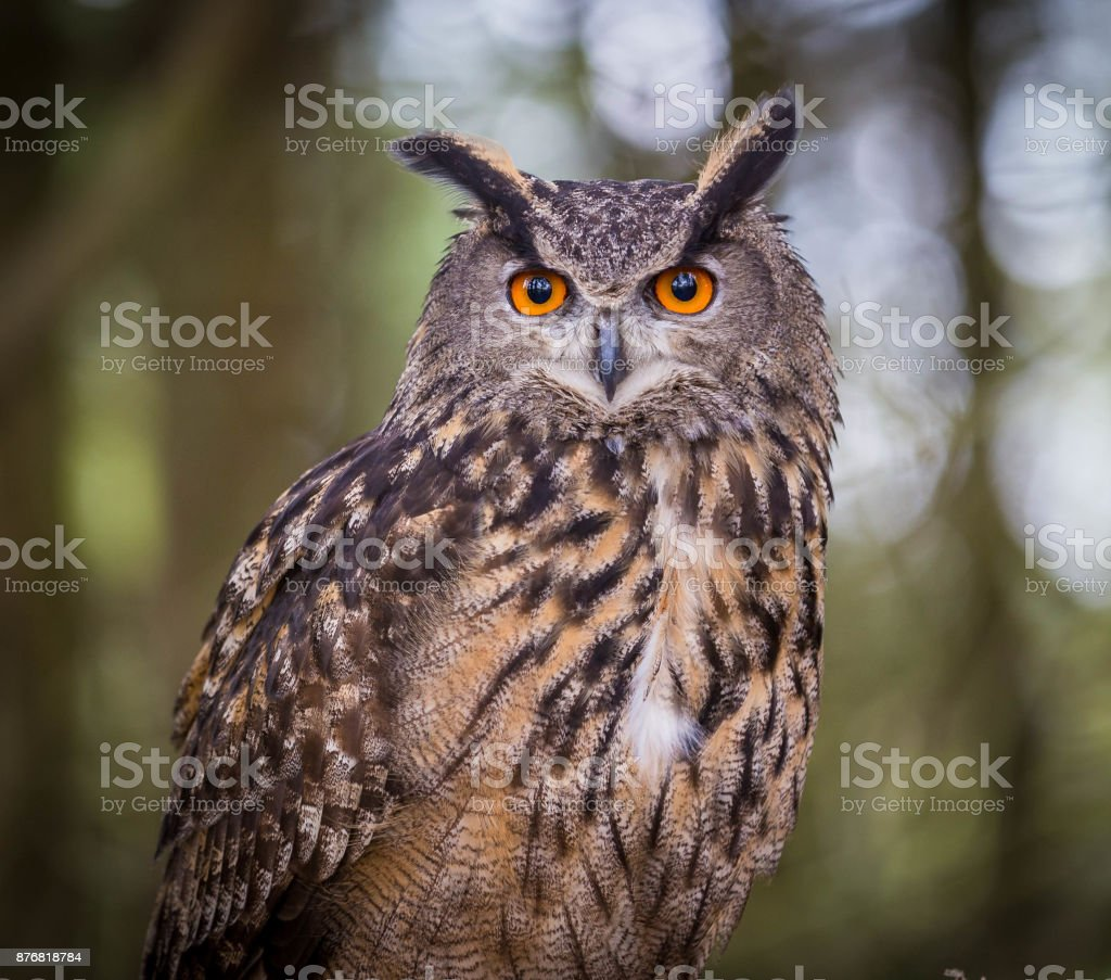 Buho de águila eurasiático - foto de stock