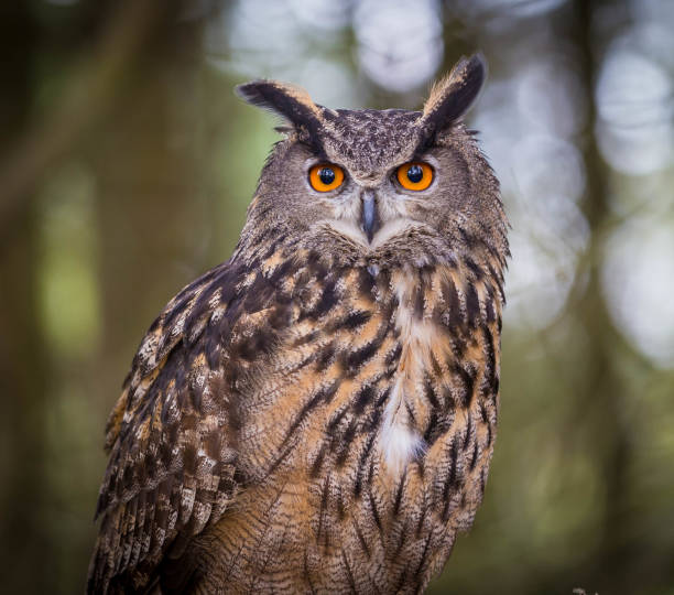 eurasian eagles owl - owl stock photos and pictures