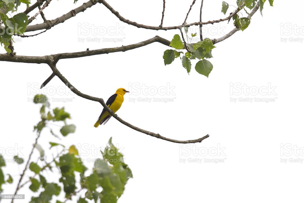 Eurasian golden oriole pershed in the top of the tree. stock photo