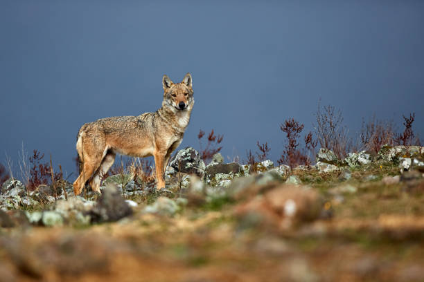 Eurasian grey wolf (Canis lupus lupus), old alpha female in the Bulgarian mountains. Wildlife scene from nature. stock photo