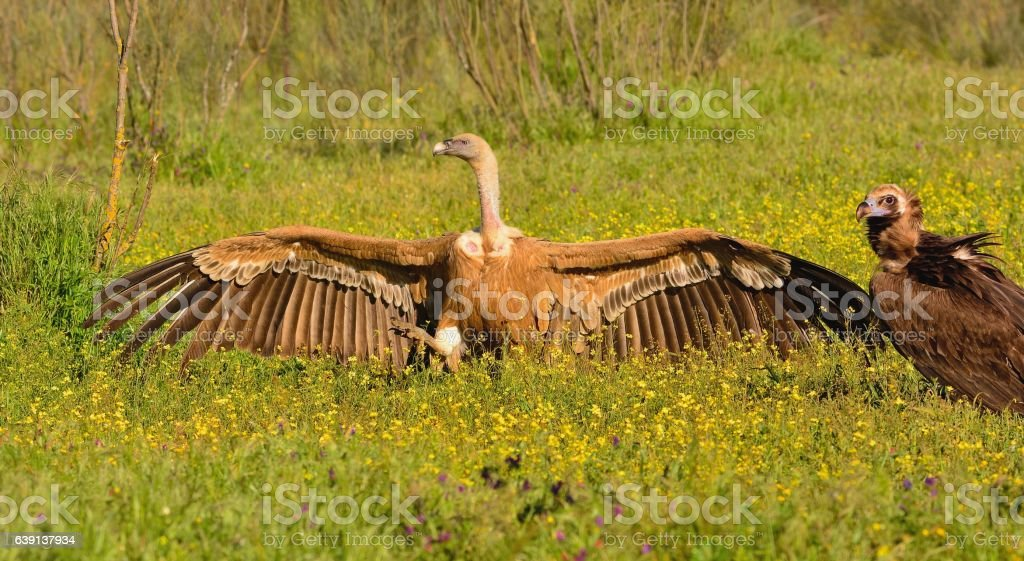 Eurasian Griffons on grass and black vulture. stock photo