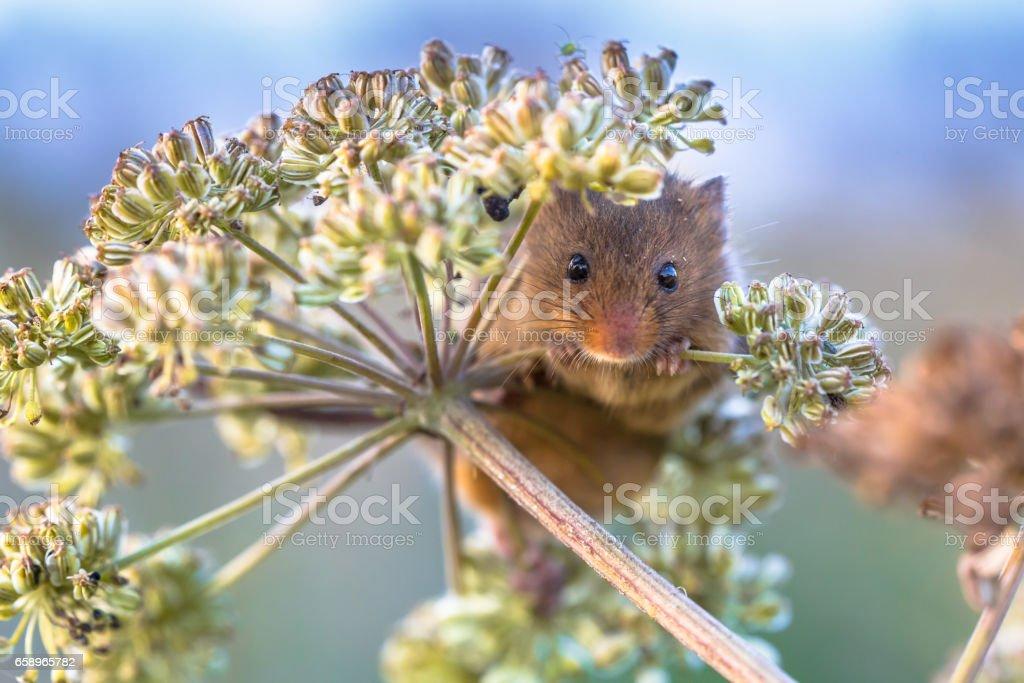 Eurasian Harvest mouse feeding on seeds stock photo